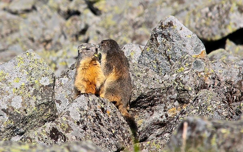 Classe de montagne printemps/automne en Auvergne | Élément Terre - marmottes en Auvergne