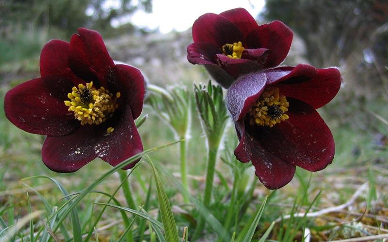 Classe de montagne printemps/automne en Auvergne | Élément Terre - anémones