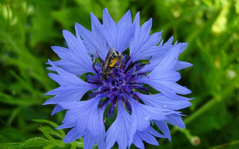 Photographie nature en Auvergne | Élément Terre - bleuet